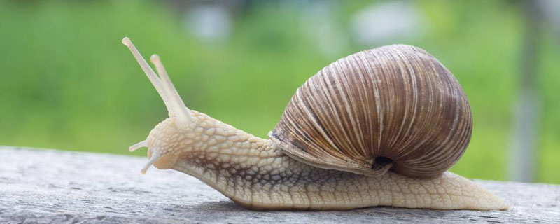 雨后有时会看到不少蜗牛爬到水泥墙上是在做什么